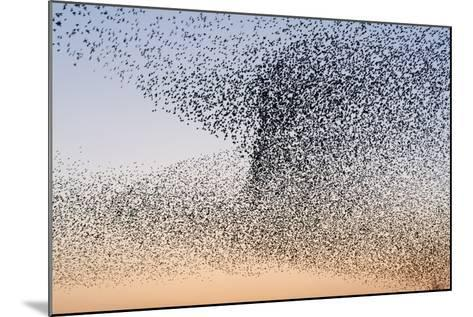 Common Starling Flock--Mounted Photographic Print