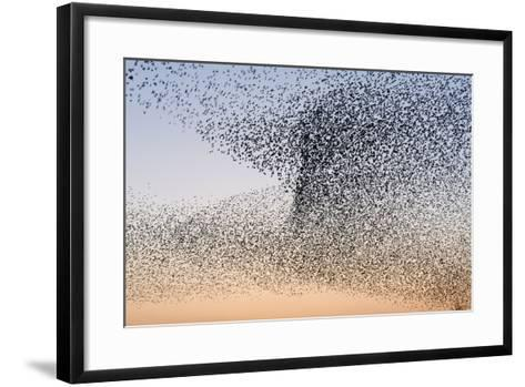 Common Starling Flock--Framed Art Print
