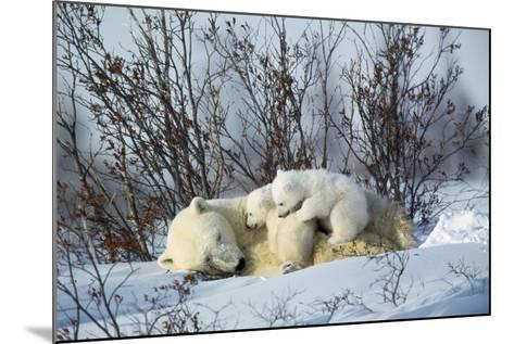 Polar Bear Adult Lying Down with Cubs, Both--Mounted Photographic Print