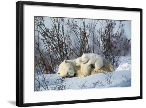 Polar Bear Adult Lying Down with Cubs, Both--Framed Art Print