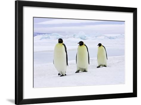 Emperor Penguin, Three Adults Walking across Ice--Framed Art Print