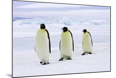 Emperor Penguin, Three Adults Walking across Ice--Mounted Photographic Print