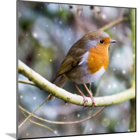 Robin Perched on Willow Branch Slimbridge--Mounted Photographic Print
