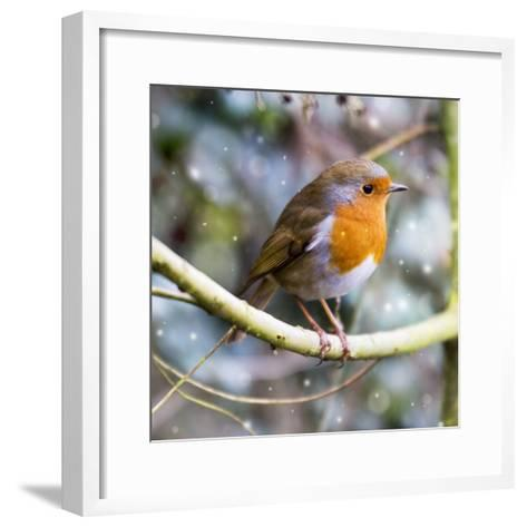 Robin Perched on Willow Branch Slimbridge--Framed Art Print