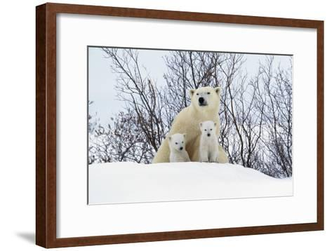 Polar Bear and Cubs X Two Sitting--Framed Art Print
