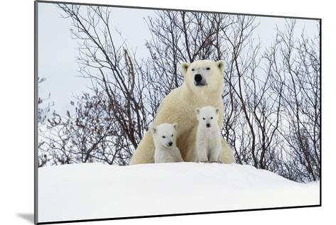 Polar Bear and Cubs X Two Sitting--Mounted Photographic Print