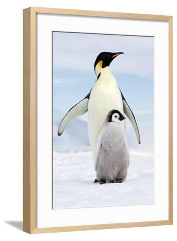 Emperor Penguin, Adult with Young--Framed Art Print