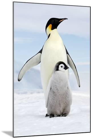 Emperor Penguin, Adult with Young--Mounted Photographic Print