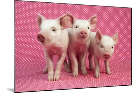 Piglets Standing in a Row on Pink Spotty Blanket--Mounted Photographic Print