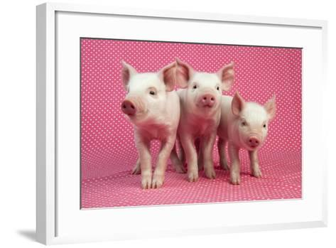 Piglets Standing in a Row on Pink Spotty Blanket--Framed Art Print