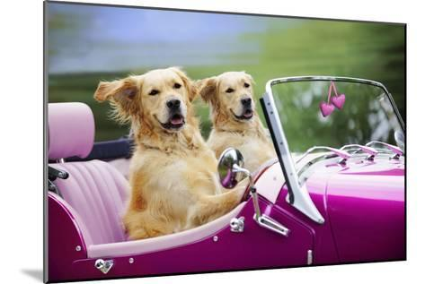 Golden Retriever Dog, Two Valentine Dog Couple in Car--Mounted Photographic Print