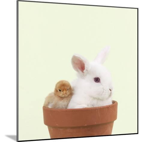 Rabbit and Chick Mini Ivory Satin Rabbit Sitting--Mounted Photographic Print