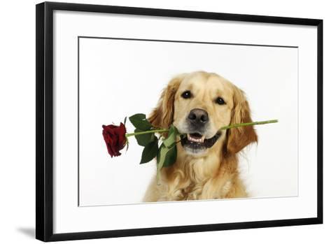 Golden Retriever Holding Rose (Head Shot)--Framed Art Print