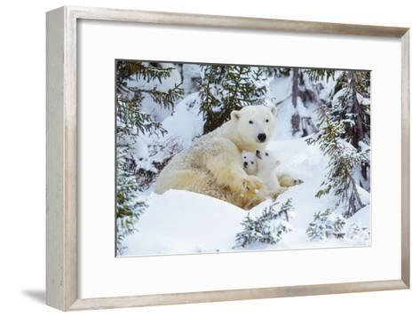 Polar Bear Huddled in Snow, with Two Cubs--Framed Art Print