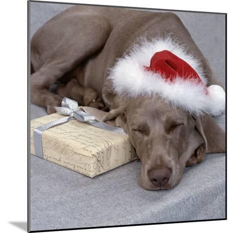 Weimaraner Asleep Wearing Christmas Hat--Mounted Photographic Print