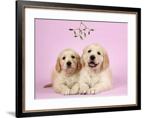 Golden Retriever Puppies (6 Weeks) Lying Down--Framed Art Print