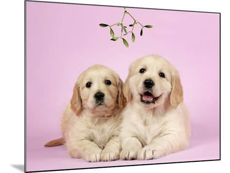 Golden Retriever Puppies (6 Weeks) Lying Down--Mounted Photographic Print