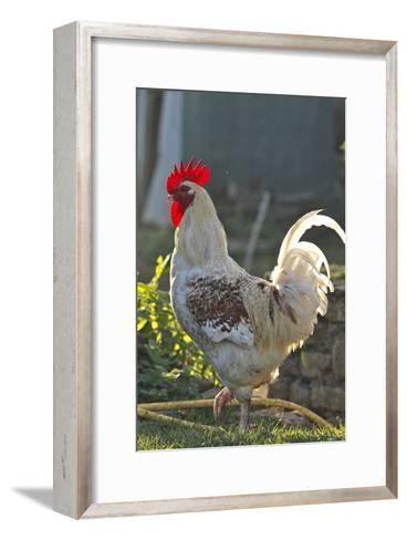 Chicken Rooster--Framed Art Print