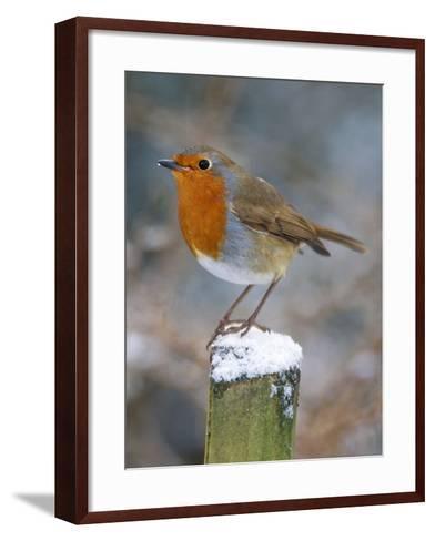 Robin on Post--Framed Art Print