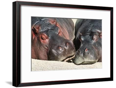 River Hippopotamus, Two Sleeping Together--Framed Art Print
