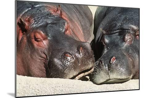 River Hippopotamus, Two Sleeping Together--Mounted Photographic Print