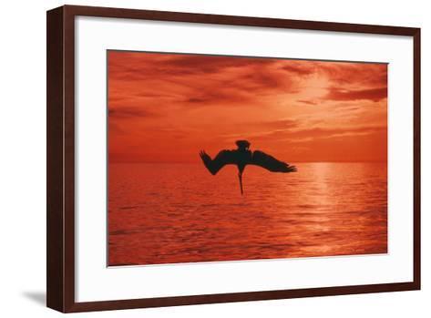 Brown Pelican Diving for Fish, Sunset--Framed Art Print