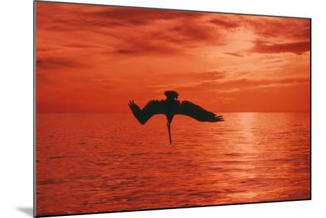 Brown Pelican Diving for Fish, Sunset--Mounted Photographic Print