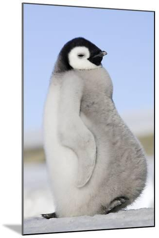 Emperor Penguin Chick--Mounted Photographic Print