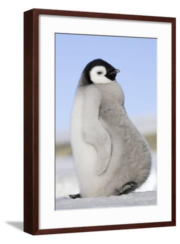 Emperor Penguin Chick--Framed Art Print