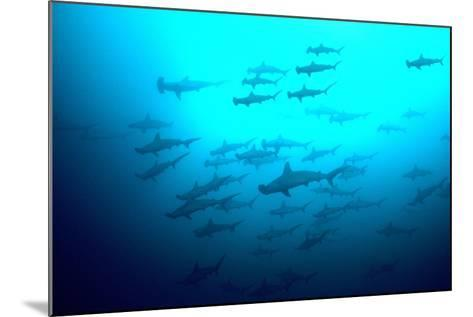 Scalloped Hammerhead Sharks Looking Up to See--Mounted Photographic Print