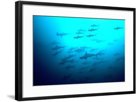 Scalloped Hammerhead Sharks Looking Up to See--Framed Art Print