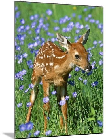 White-Tailed Deer Fawn--Mounted Photographic Print