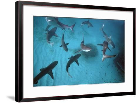 Galapagos Sharks Many Congregate in the Lagoon--Framed Art Print