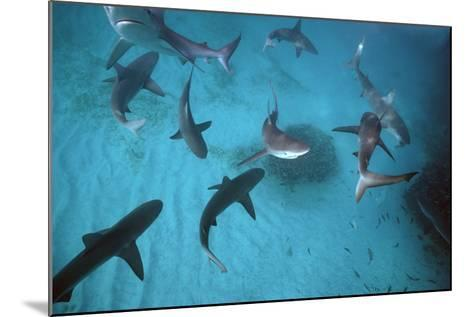 Galapagos Sharks Many Congregate in the Lagoon--Mounted Photographic Print