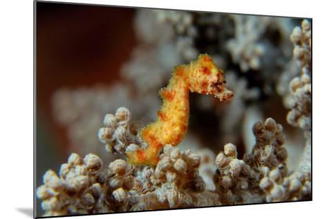 Pygmy Seahorse This Is a New Kind of Pigmy Seahorse--Mounted Photographic Print