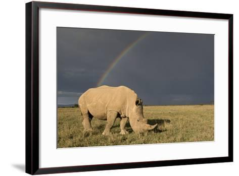Southern White Rhinoceros Feeding with Rainbow--Framed Art Print