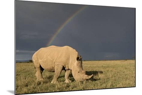 Southern White Rhinoceros Feeding with Rainbow--Mounted Photographic Print