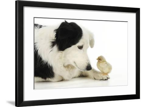Chick Sitting on Border Collies Paw--Framed Art Print
