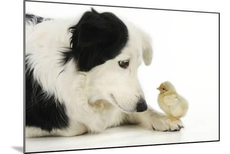 Chick Sitting on Border Collies Paw--Mounted Photographic Print