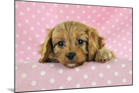 Cockerpoo Puppy--Mounted Photographic Print