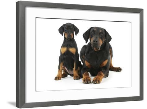 Dobermann Puppy and Adult--Framed Art Print
