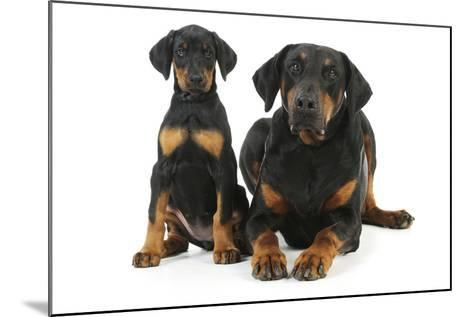 Dobermann Puppy and Adult--Mounted Photographic Print