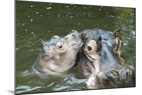 Hippopotamus Adult and Baby in Water--Mounted Photographic Print