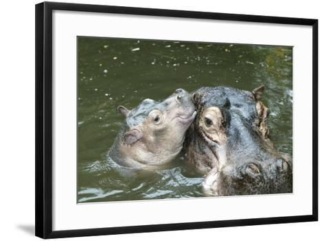 Hippopotamus Adult and Baby in Water--Framed Art Print
