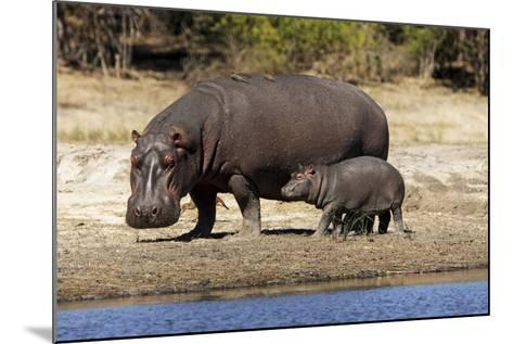 Hippo Mother with Young One--Mounted Photographic Print