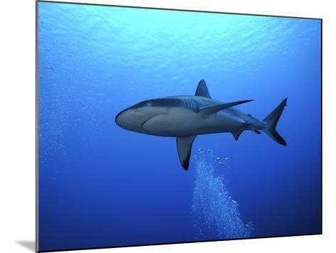 Grey Reef Shark Once Common Through Out the Indo--Mounted Photographic Print
