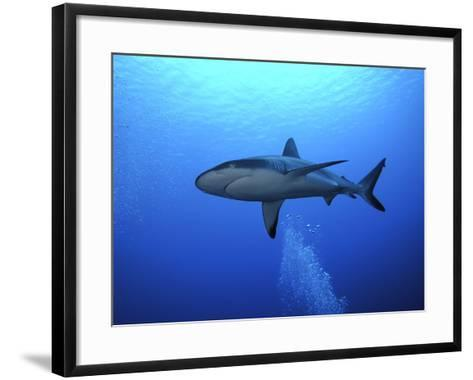 Grey Reef Shark Once Common Through Out the Indo--Framed Art Print