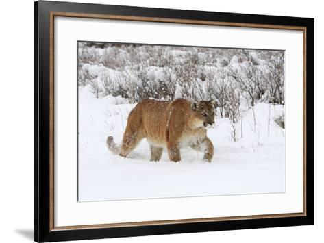 Puma in Snow--Framed Art Print