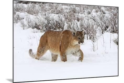 Puma in Snow--Mounted Photographic Print