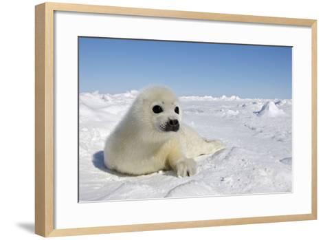 Harp Seal Pup--Framed Art Print
